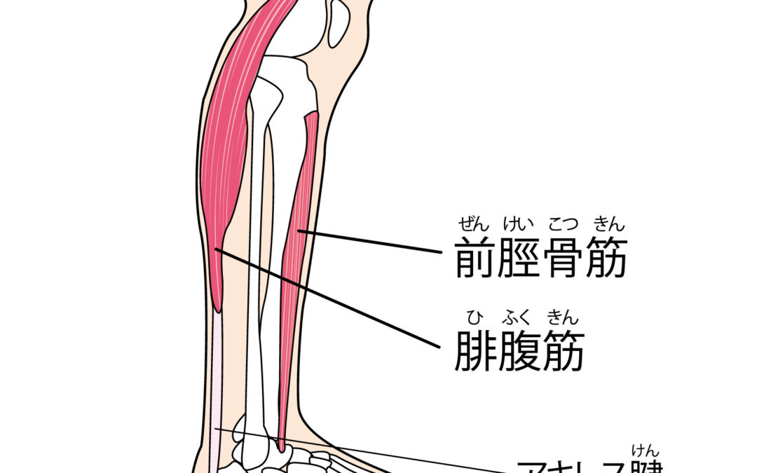 GYMBA 前脛骨筋